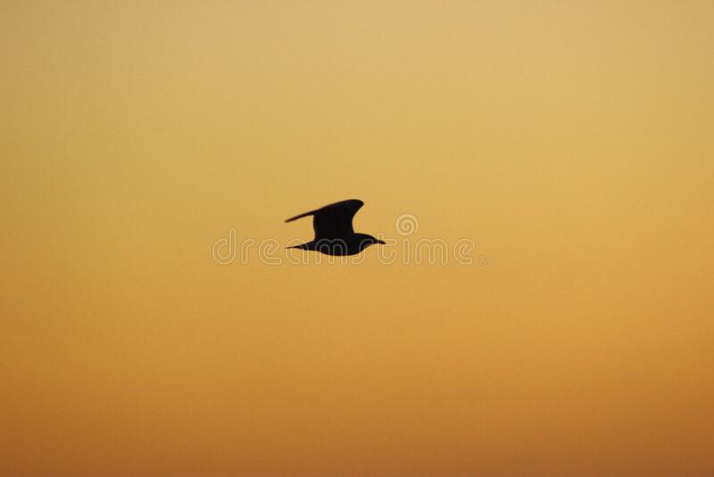 Seagull silhouette stock photo
