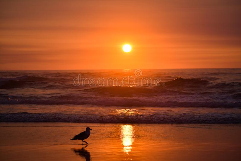 Seagull silhouette with Sunset royalty free stock photography