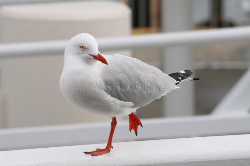 Seagull (Silver Gull). Gulls (often informally Seagulls) are birds in the family Laridae. They are most closely related to the terns (family Sternidae) and only royalty free stock photos