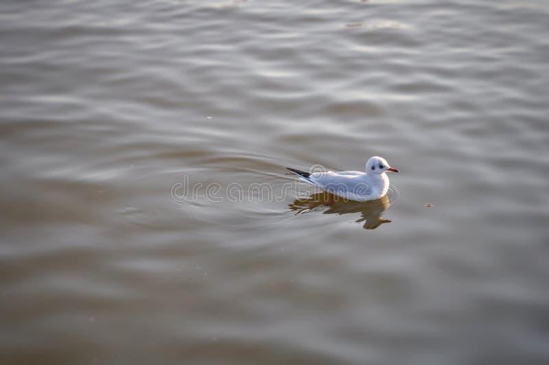 Bird. Seagull from Sinobazu pond , Ueno park, Tokyo, Japan stock photo