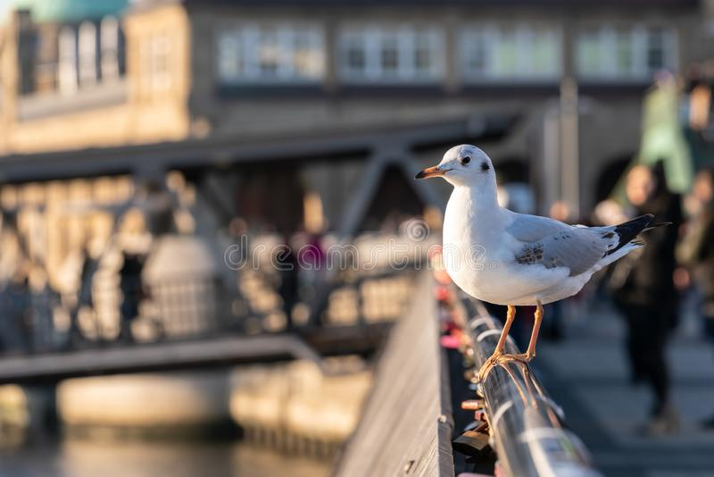 A seagull sits on a railing at Hamburg harbor royalty free stock images