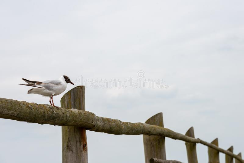 Seagull sitting on a fence stock image