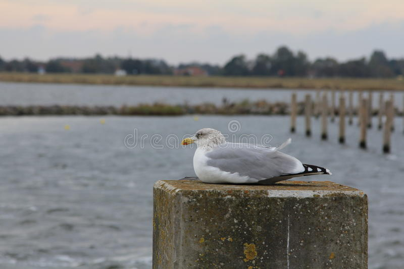 Seagull sitting in harbor royalty free stock photo