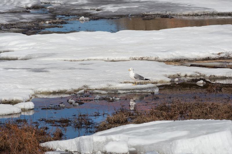 Seagull sitting on an ice floe stock image
