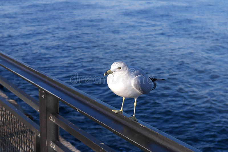 A seagull sitting on a metal rail with an water background or backdrop stock images