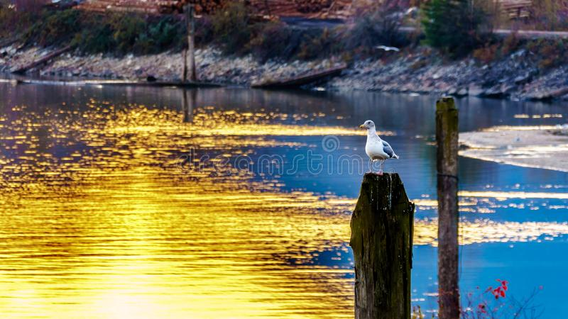 Seagull sitting on a post in the Fraser Valley of British Columbia, Canada. Sunset over a Seagull sitting on a post in the Harrison River in the Fraser Valley of royalty free stock photography