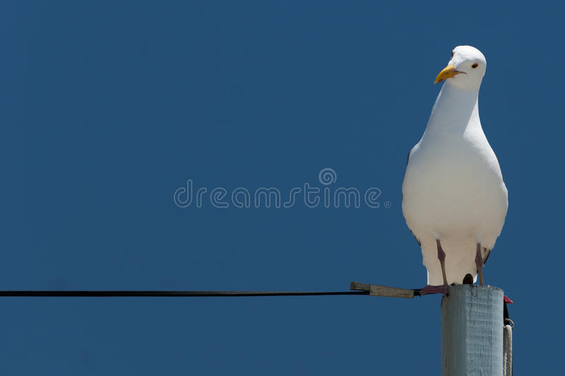 Download Seagull Sitting On Power Supply Line Stock Photo - Image: 26033894