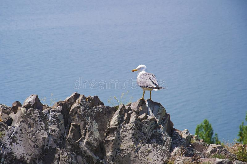 Seagull sitting on a rock on the edge of the mountain. View of the largest source in the entire Caucasus - Lake Sevan. Gegharkunik royalty free stock image