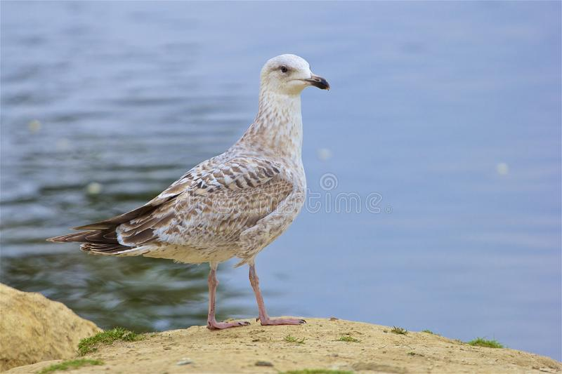 Seagull sitting on the rock stock photos