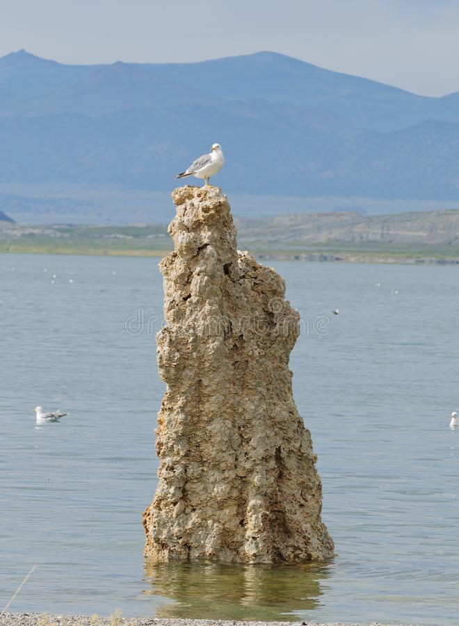 Seagull sitting on top of a tufa royalty free stock images