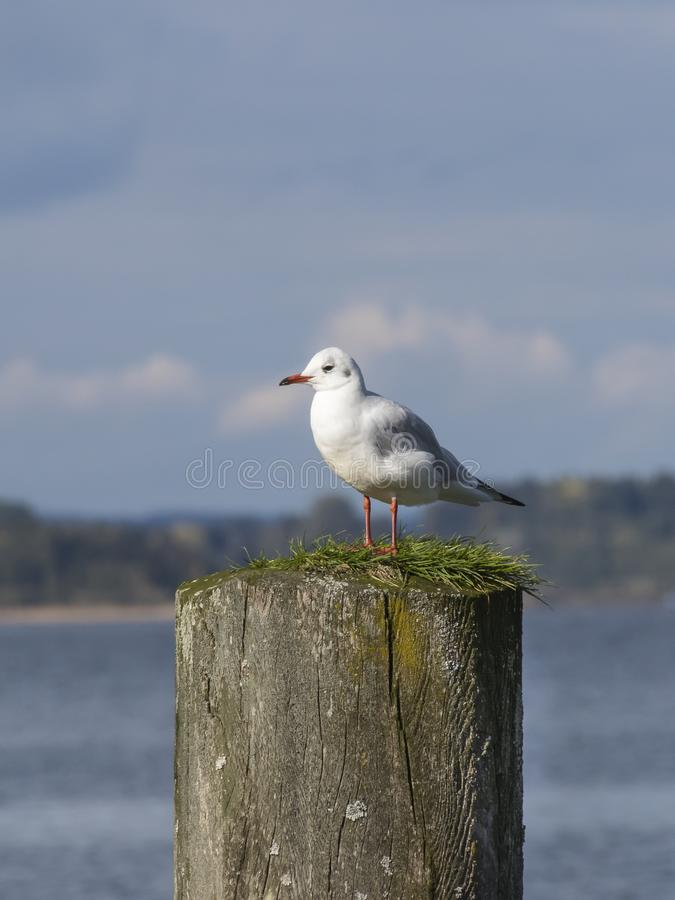 A seagull sitting on a wooden plank stock photo