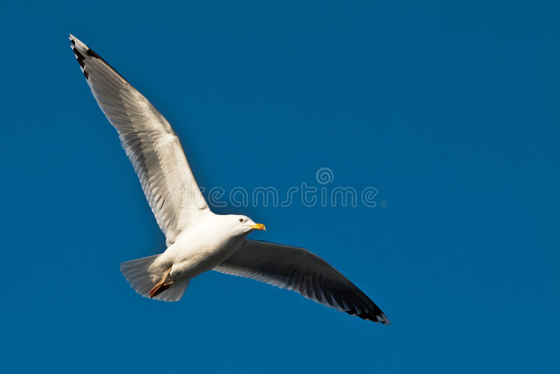 Seagull in the sky stock photo