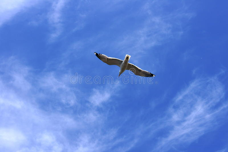 Seagull in the sky. A seagull soaring in the blue sky stock photos