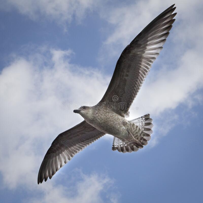 Seagull in sky royalty free stock photography
