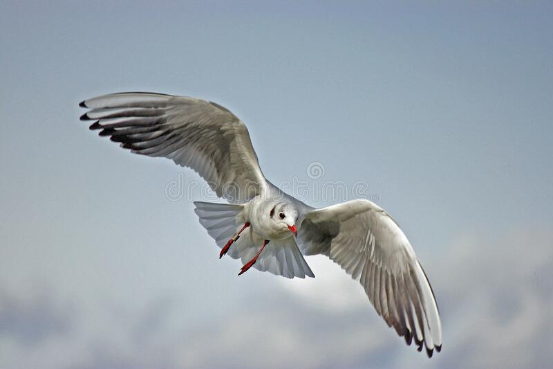 Seagull on sky royalty free stock photos
