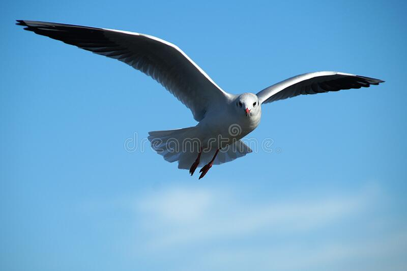 Seagull On Sky Free Public Domain Cc0 Image