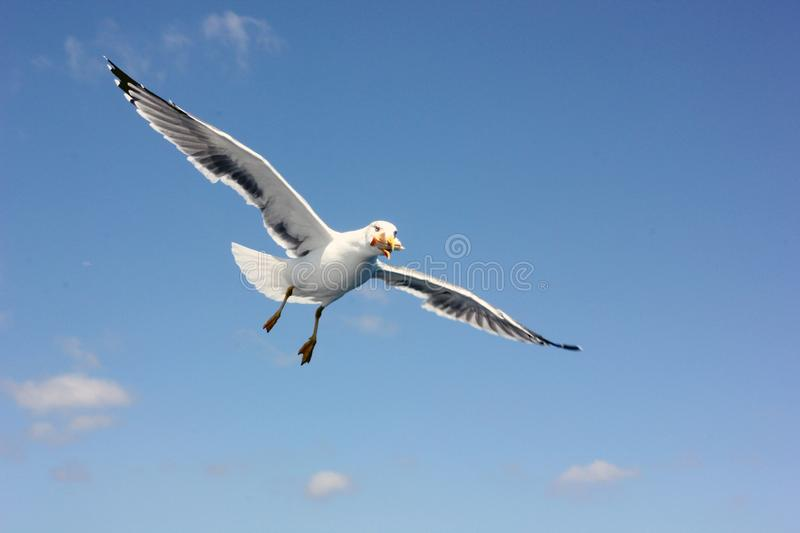 Flying seagull eating a sandwich. A seagull in the sky, holding a piece of sandwich in its beak, clear sky, sunny weather, flight of a bird