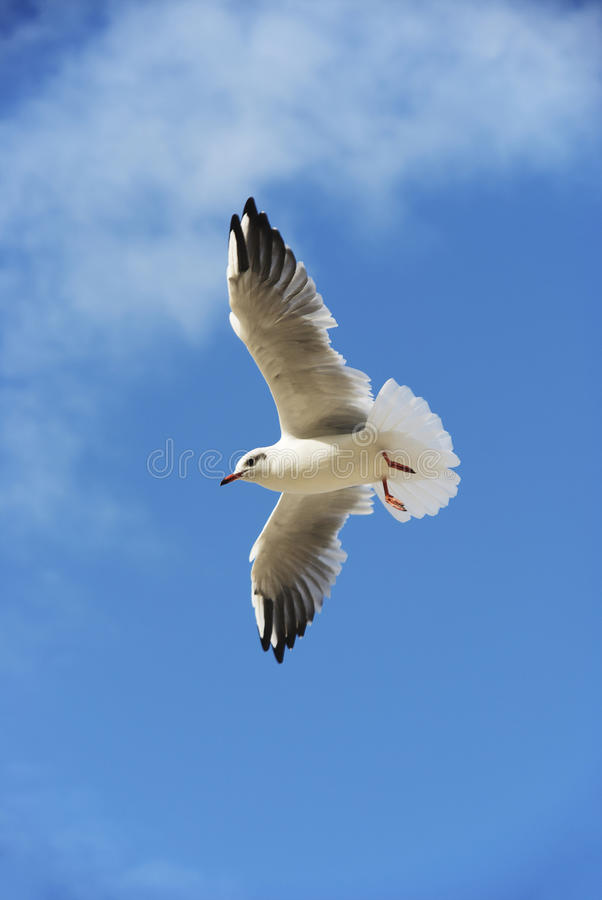 The seagull in the sky with wide-spread wings stock photography