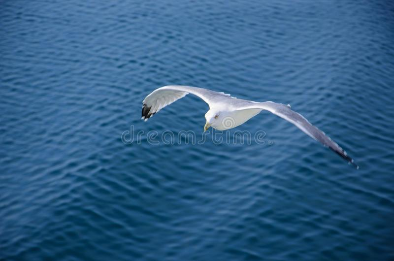 Download Seagull soaring stock photo. Image of freedom, ocean - 26608960