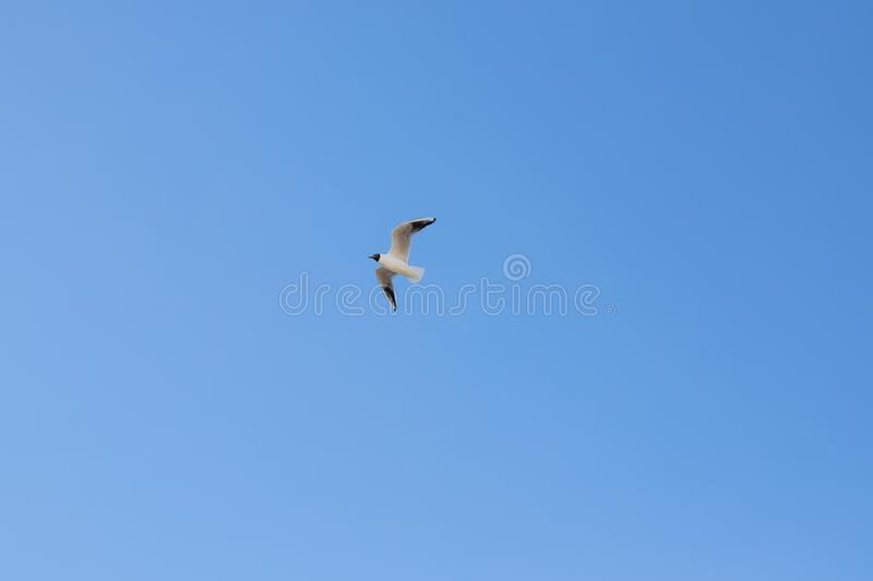 A seagull, soaring in the blue sky. Bird is looking for some food.Bird Flying above clouds on a fresh summers day. royalty free stock image