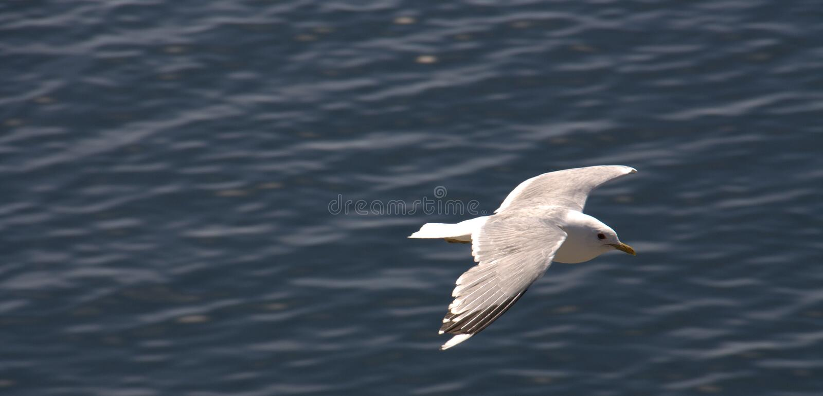 Download Seagull Soaring Over Water Royalty Free Stock Image - Image: 20317626