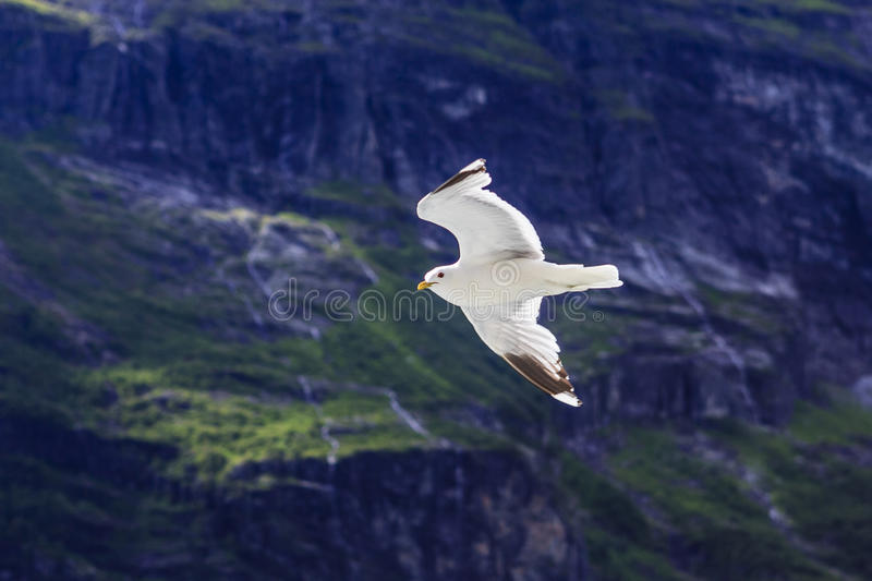 A seagull royalty free stock photos