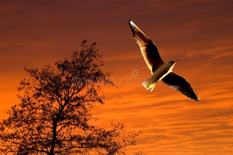 Download Seagull Soaring During Sunset Stock Image - Image: 1849709