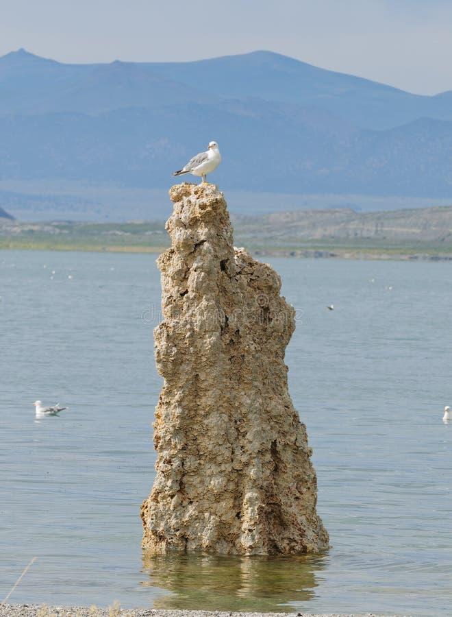 Seagull som överst sitter av en tufa royaltyfria bilder