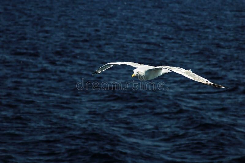 Seagull som flyger över havet royaltyfria bilder