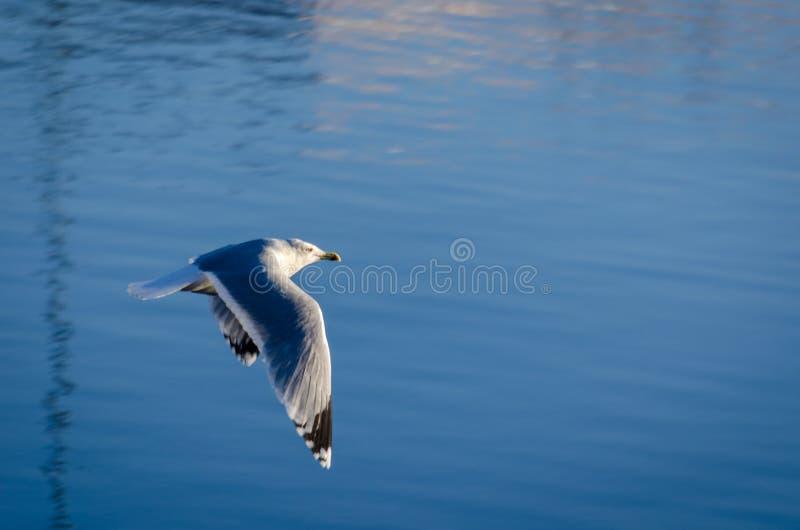 Seagull som flyger över sjön royaltyfria bilder