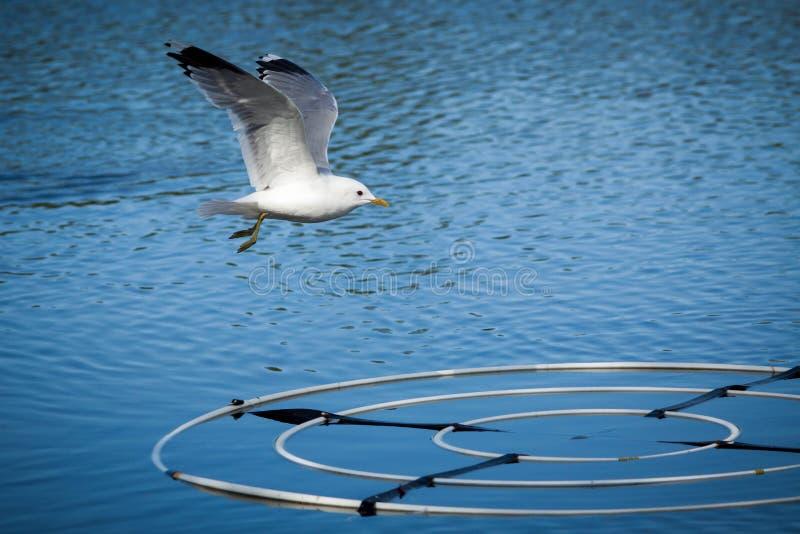 Seagull som flyger över sjön arkivbild