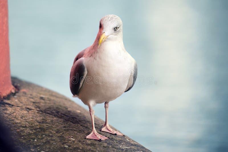 seagull som går på räcket royaltyfri fotografi