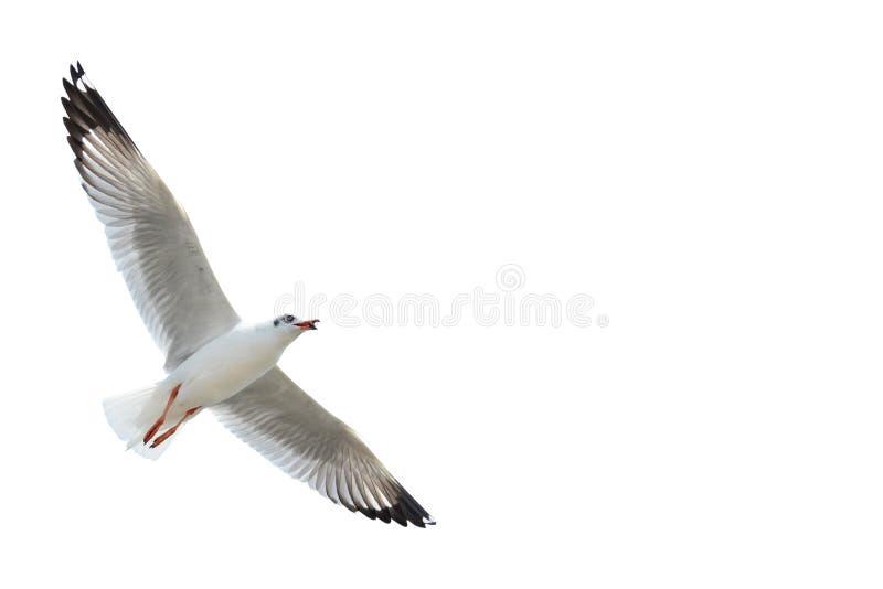 Seagull som isoleras på vit royaltyfria foton