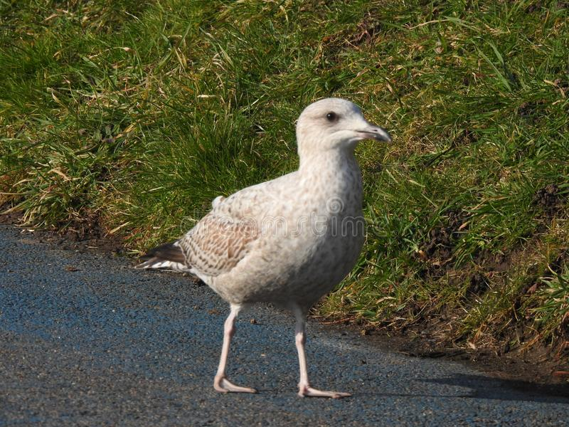 Seagull som omkring strövar omkring royaltyfria foton