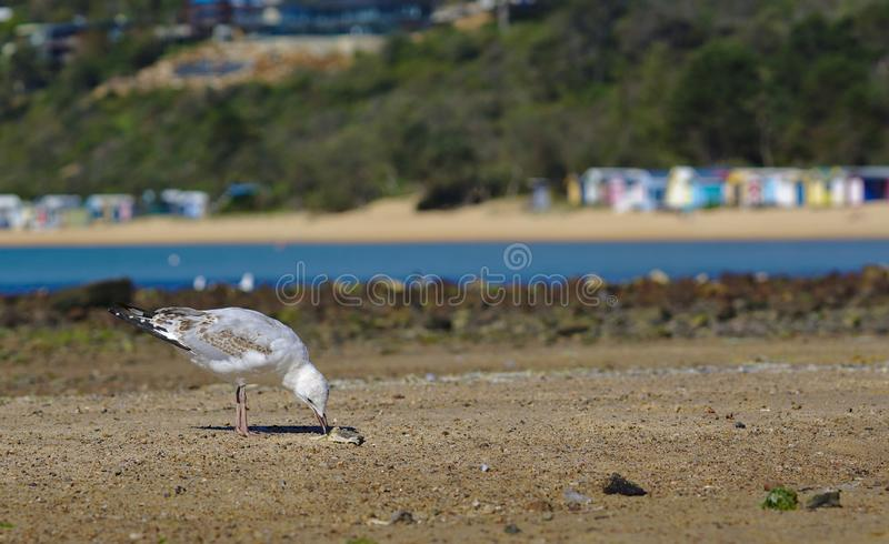 Seagull som pickar mat av sand royaltyfri bild