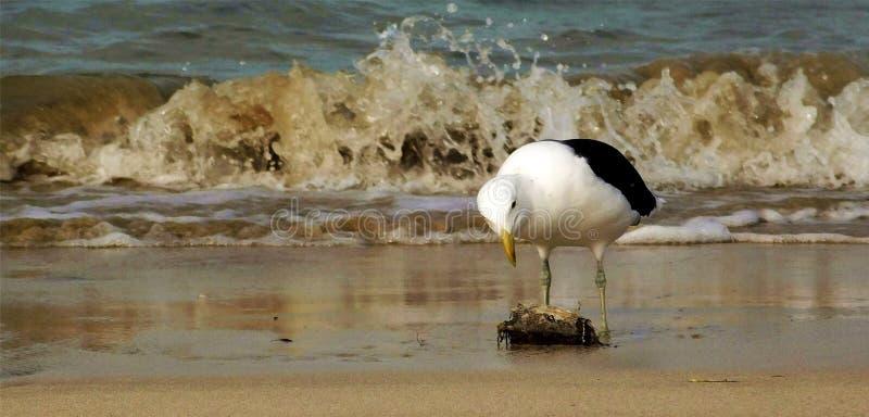 Seagull som pickar på ett fiskhuvud royaltyfri fotografi