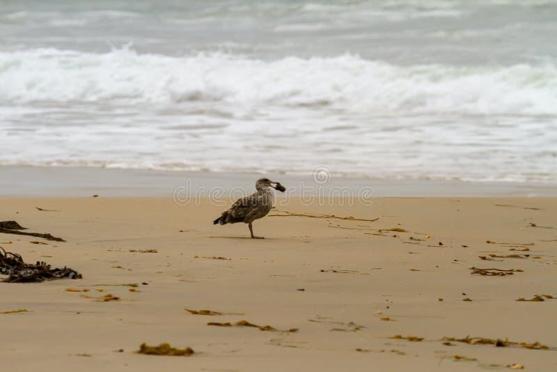 Seagull som rymmer något i dess näbb royaltyfria foton