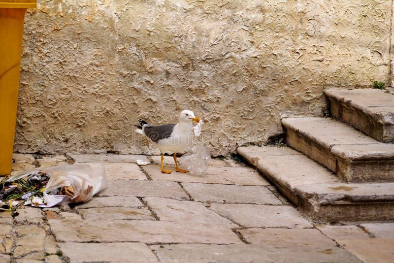 Seagull som söker mat i plastpåse och bristningsavskräde arkivfoton