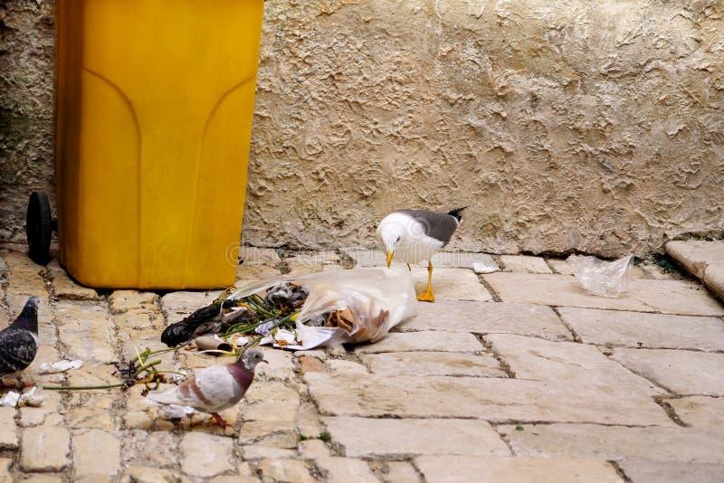 Seagull som söker mat i plastpåse och bristningsavskräde royaltyfri bild