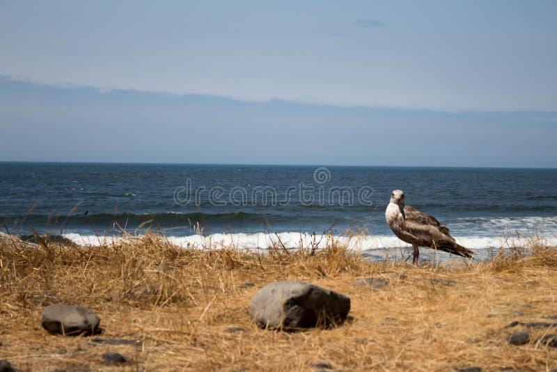 Seagull som ser kameran på stranden arkivfoton