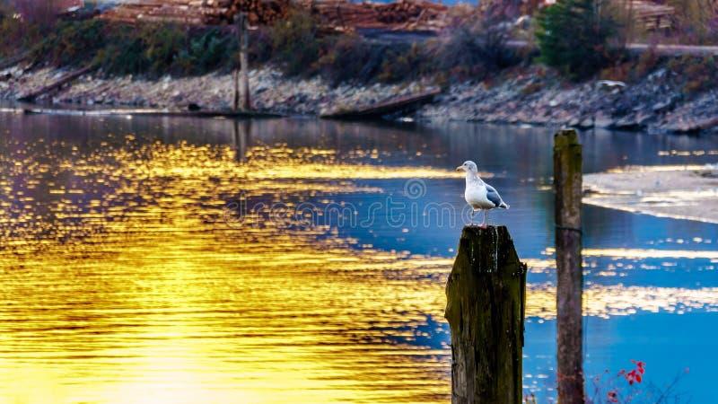 Seagull som sitter på en stolpe i Fraser Valley av British Columbia, Kanada arkivbild