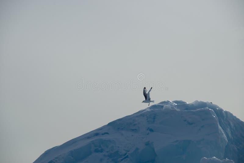 Seagull som tar av ner lutning av isberget arkivbild