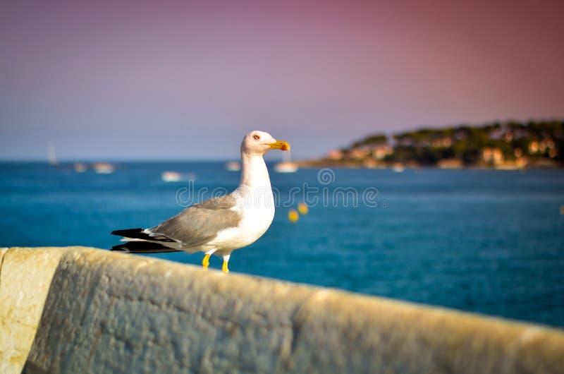 Seagull som vilar på den vita väggen arkivbilder