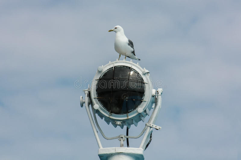 Seagull on the spotlight royalty free stock photo