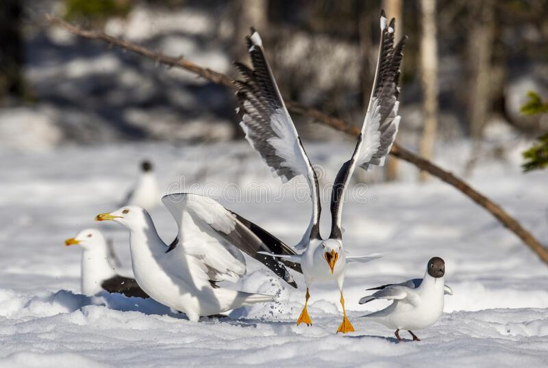 Seagull spread its wings. Scientific name: Larus argentatus. Seagull spread its wings. Sunny day in a winter forest. European herring gulls in winter royalty free stock photos
