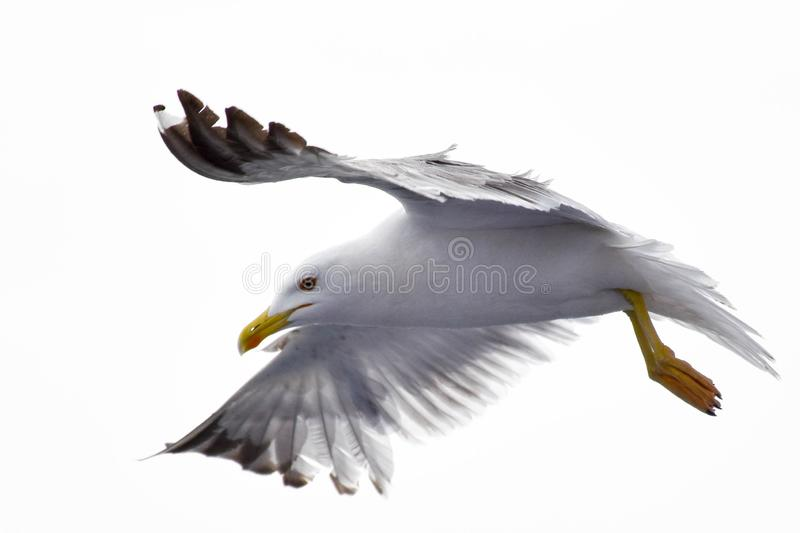 Seagull spreading its wings on an isolated white background stock photo