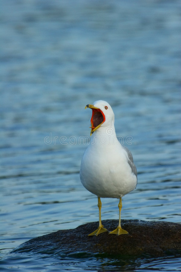 Free Seagull Squaking Stock Photo - 205110