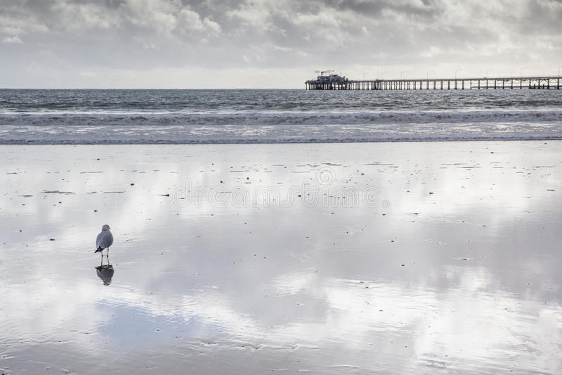 Seagull standing on beach with beautiful reflection of sky and clouds. Wharf in background stock image