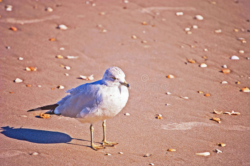 Seagull. Standing on the beach with shells all around it