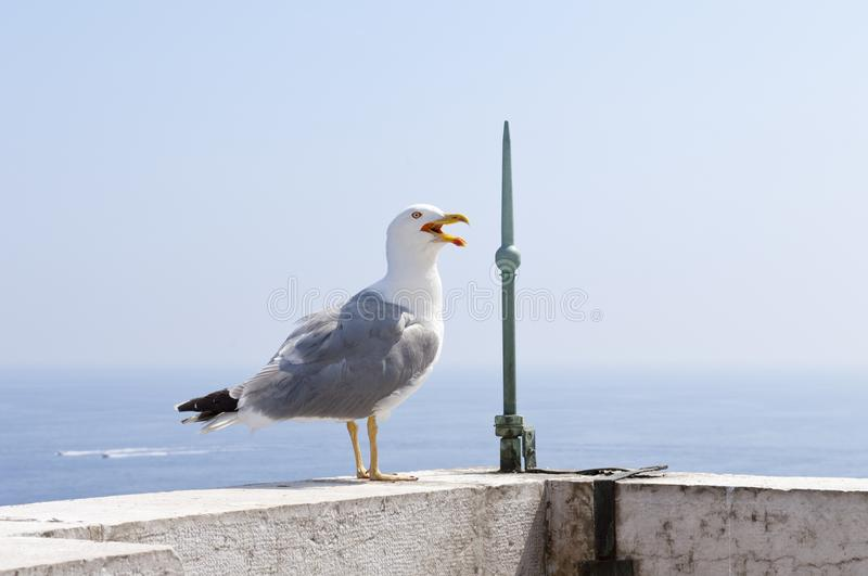 Seagull standing on the edge of the roof Monaco Aquarium royalty free stock photos